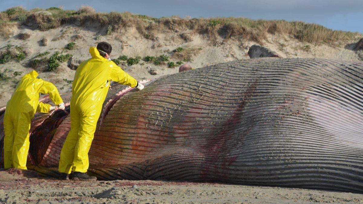 Gestrandeter Wal in Frankreich wird zerlegt (Archivbild)