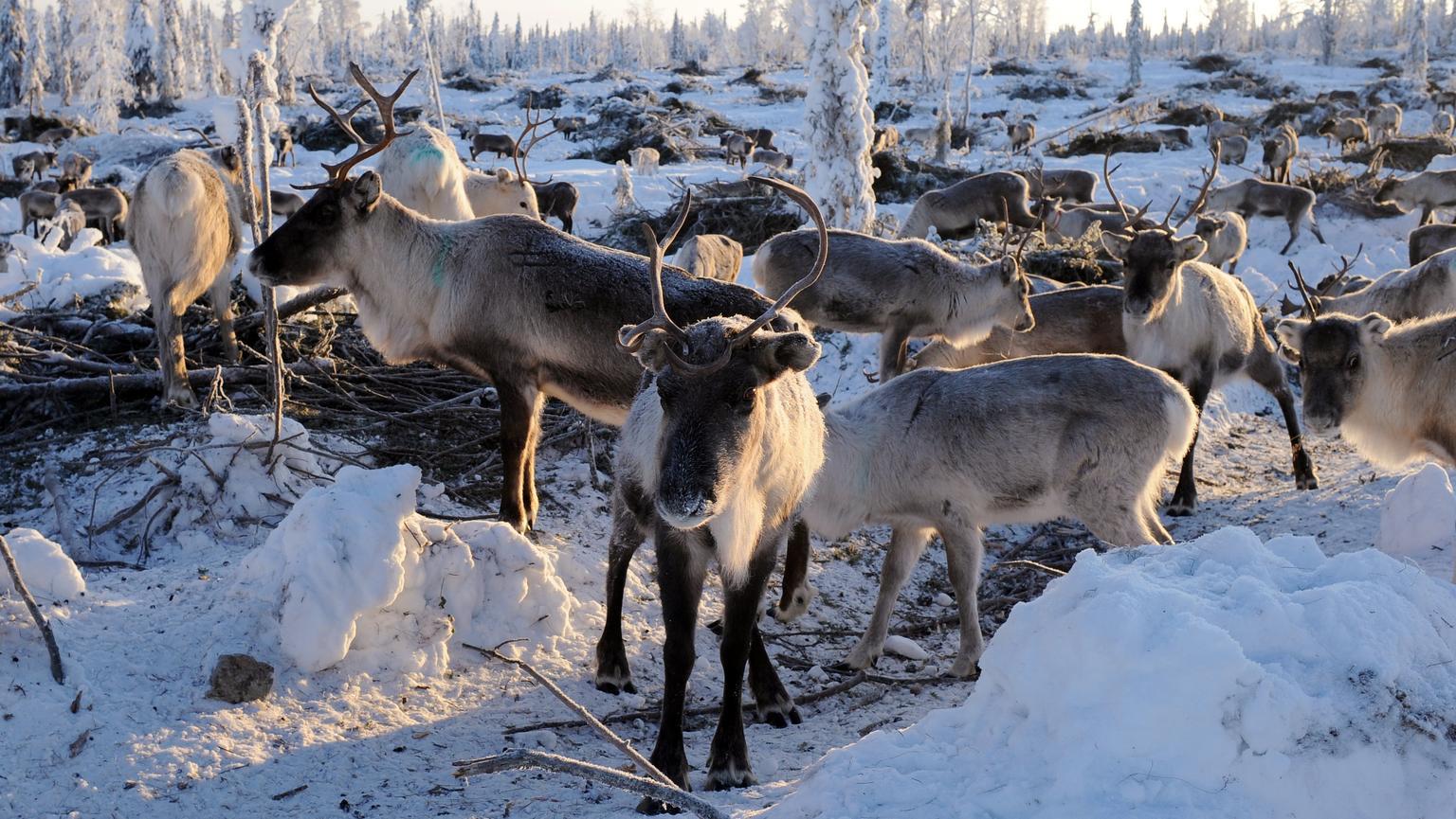Eine Rentierherde. Wilderei bedroht nach Einschätzung der Tierschutzorganisation WWFden Bestand der Rentiere in Russland.