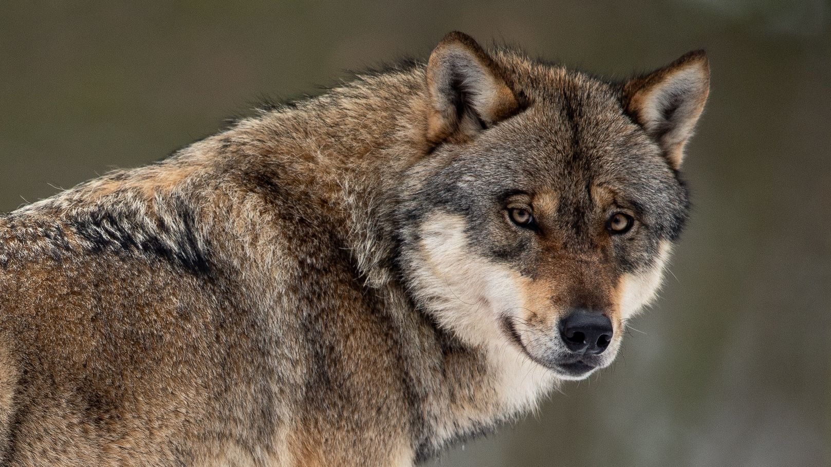 Ein Wolf (Canis lupus) steht in einem Gehege im Wildpark Neuhaus in Niedersachsen