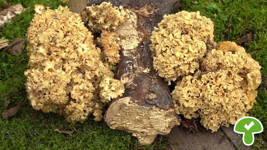 Der Pilz besitzt große, helle, kopfartige Fruchtkörper, die aus Strunk und blattartigen Zweigen bestehe. Die Krause Glucke lebt parasitisch an Kiefernwurzeln und ist essbar. Es besteht aber Verwechslungsgefahr mit der selteneren breitblättrigen Glucke.