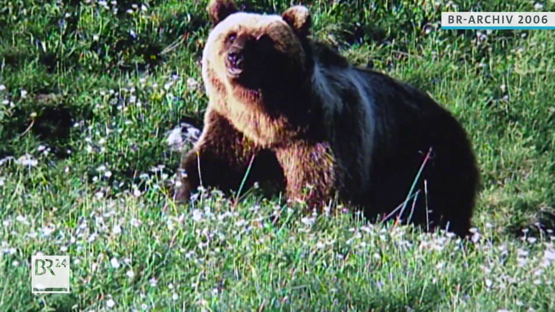 Braunbär Bruno