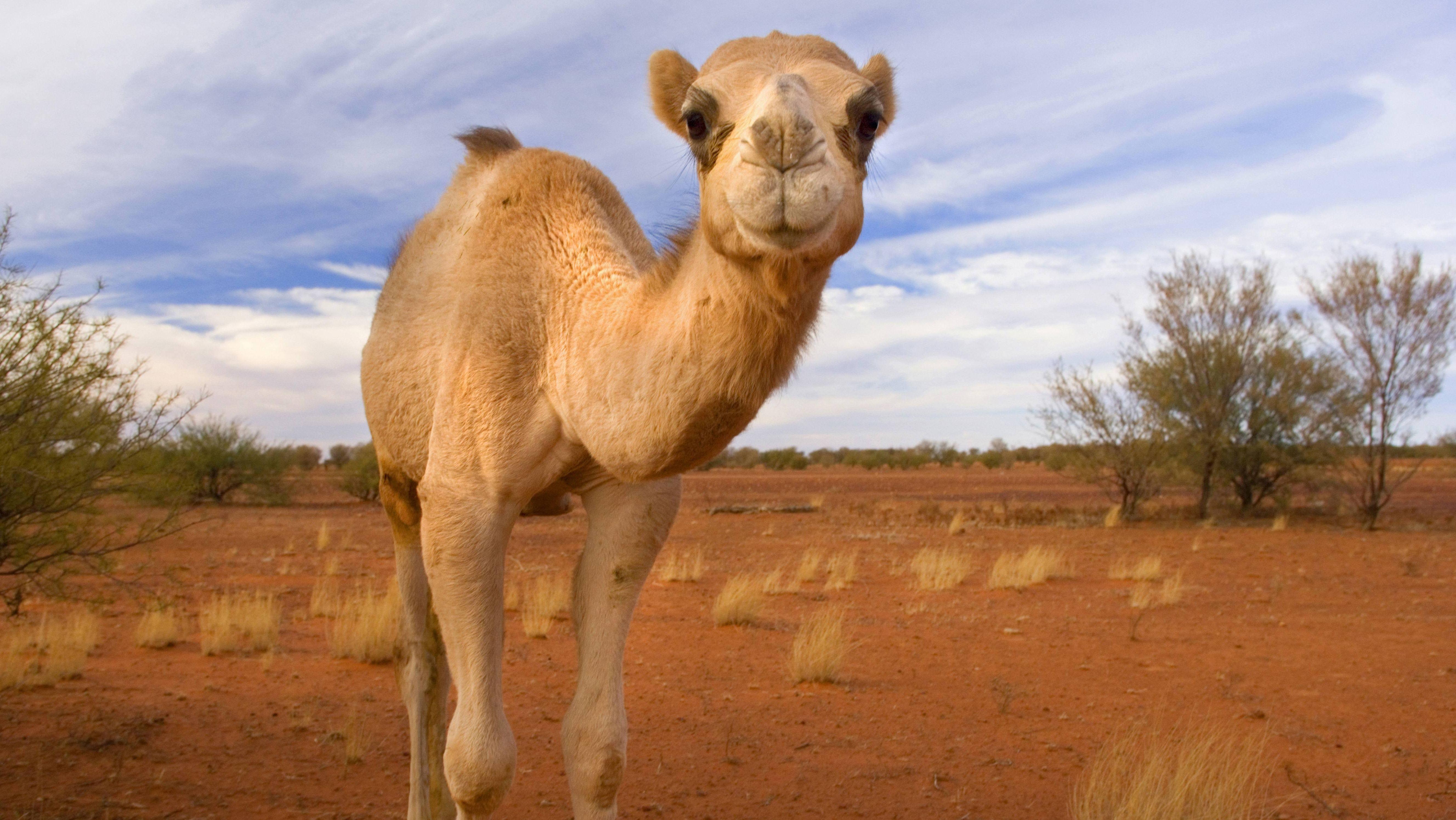 Kamel in der australischen Wüste schaut in die Kamera.