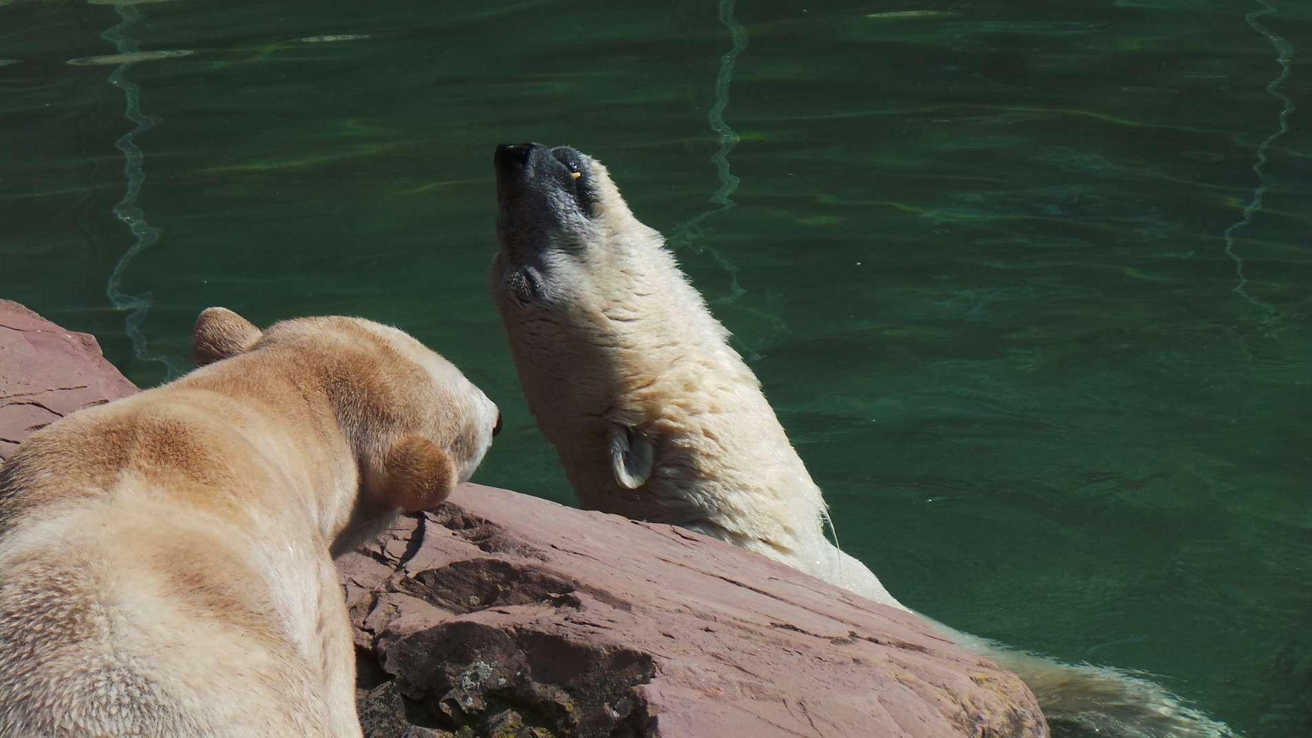 Die Nürnberger Eisbären Vera (l.) und Nanuq (r.) in ihrem Freigehege