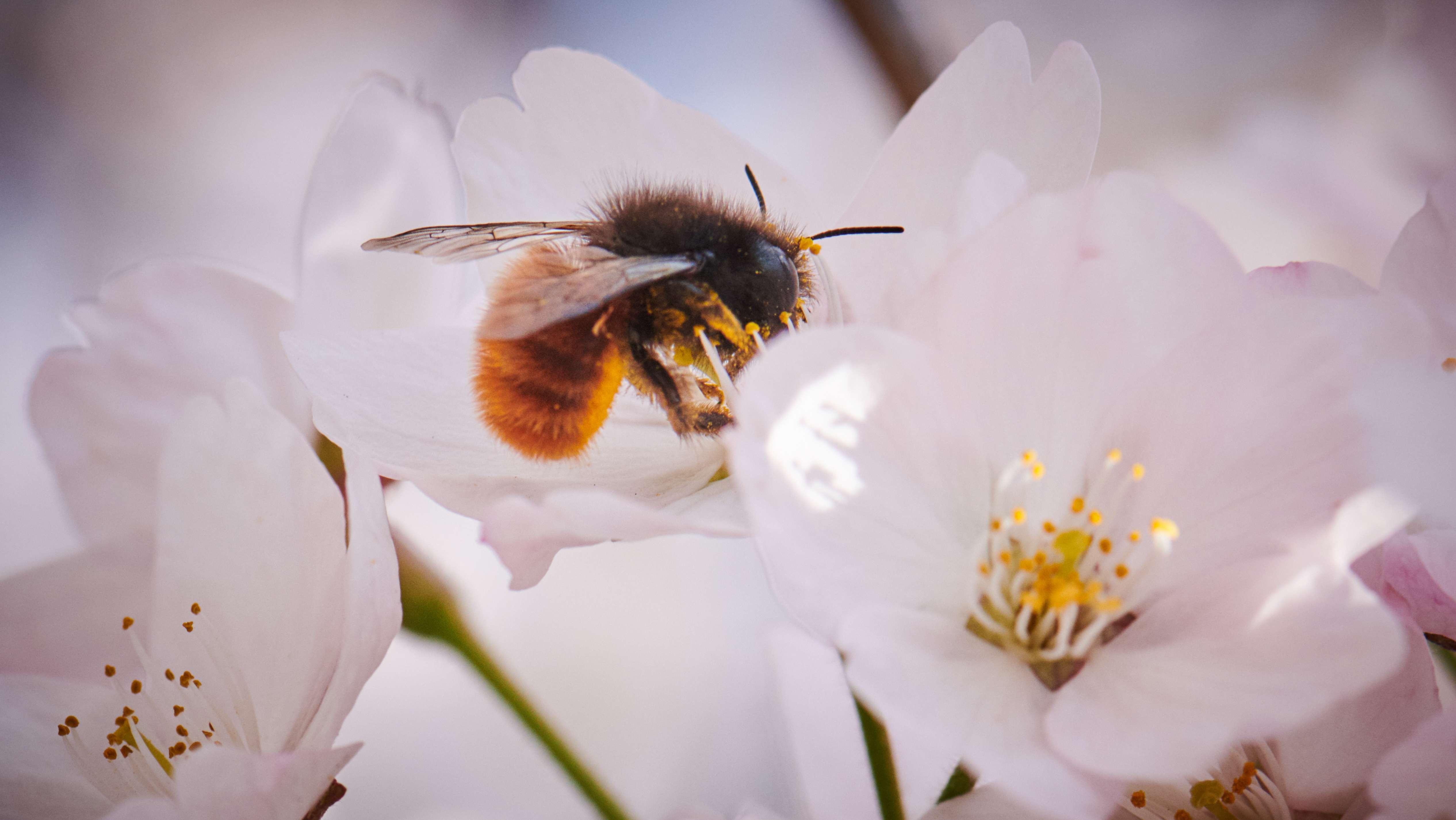 Eine Wildbiene sammelt Blütenstaub (Symbolbild)