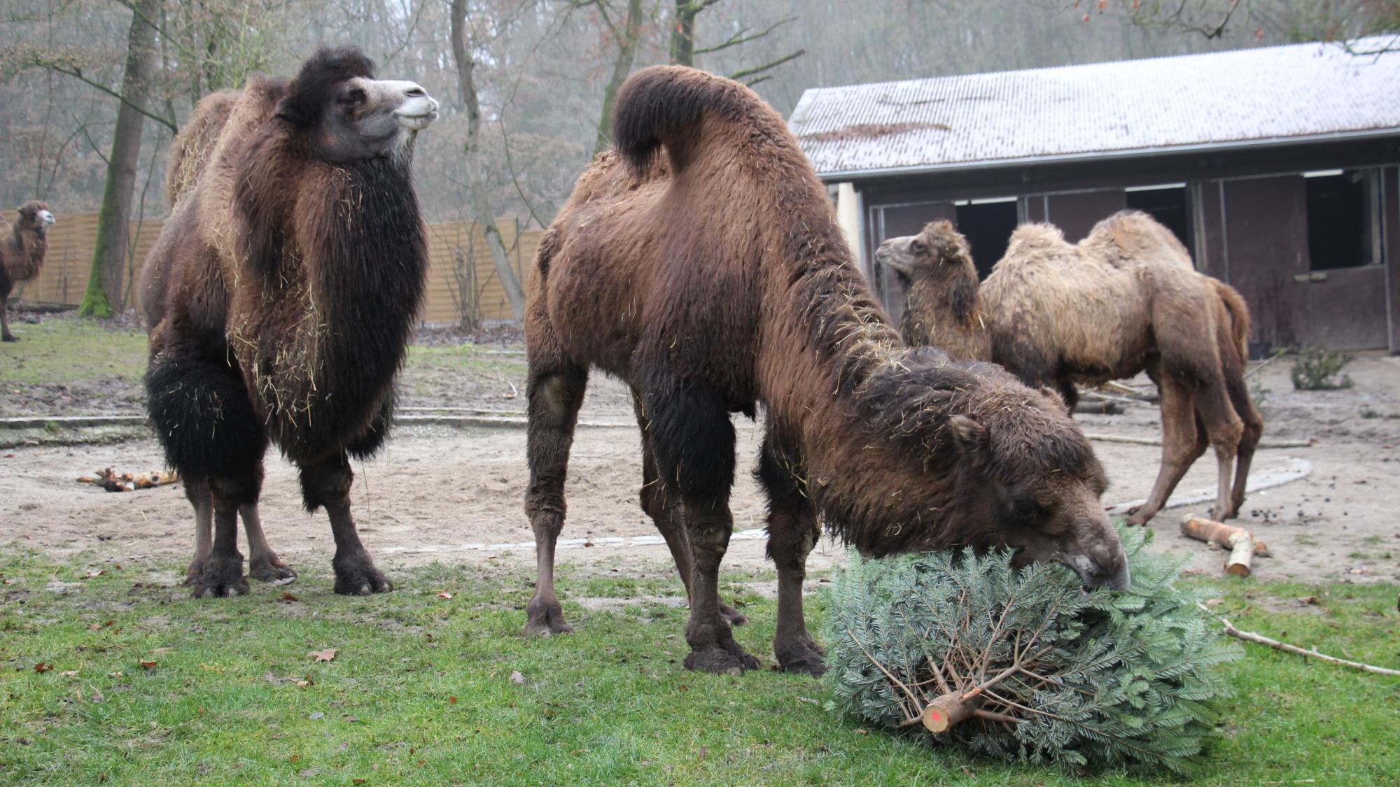 Auch die Kamele machen sich über die Christbäume her