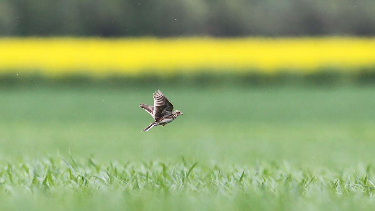 Feldlerche (Alauda arvensis), Altvogel fliegt über Maisfeld im Mai