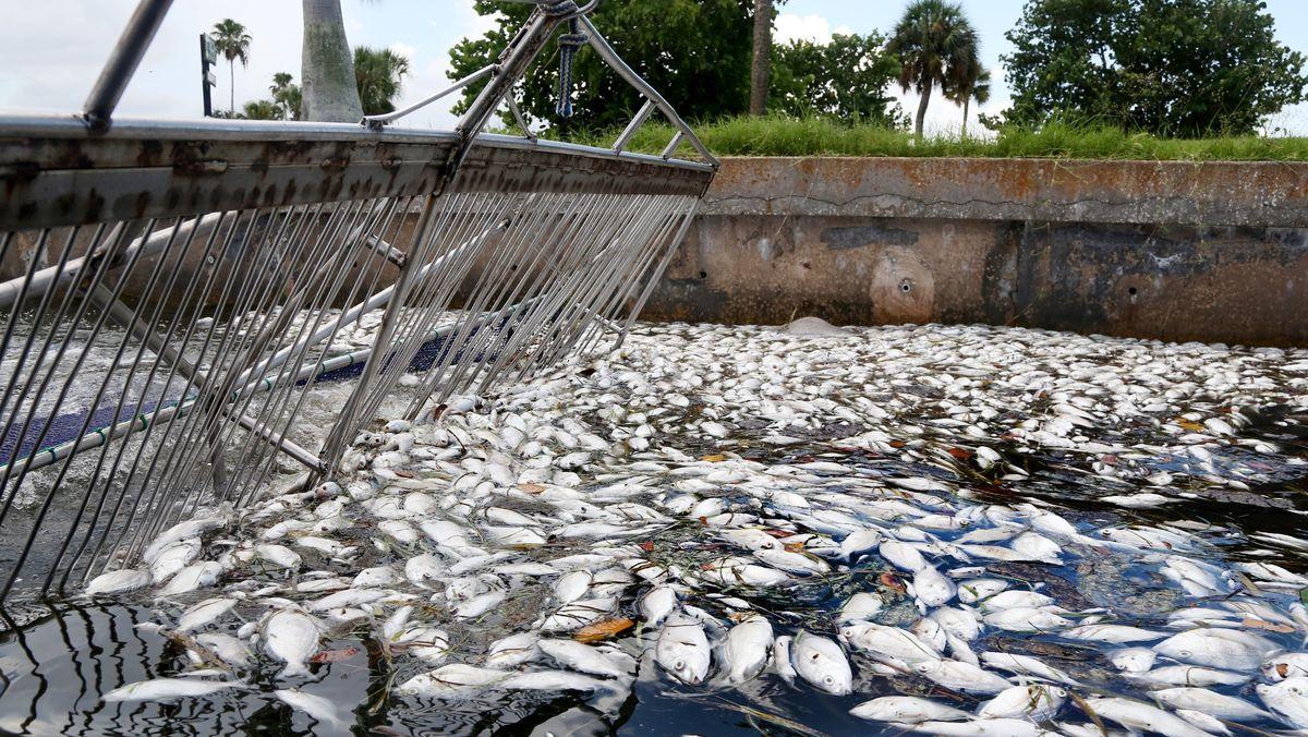 Tote Fische an Floridas Küste
