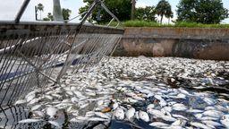 Tote Fische an Floridas Küste | Bild:picture alliance / ZUMAPRESS.com | Douglas R. Clifford
