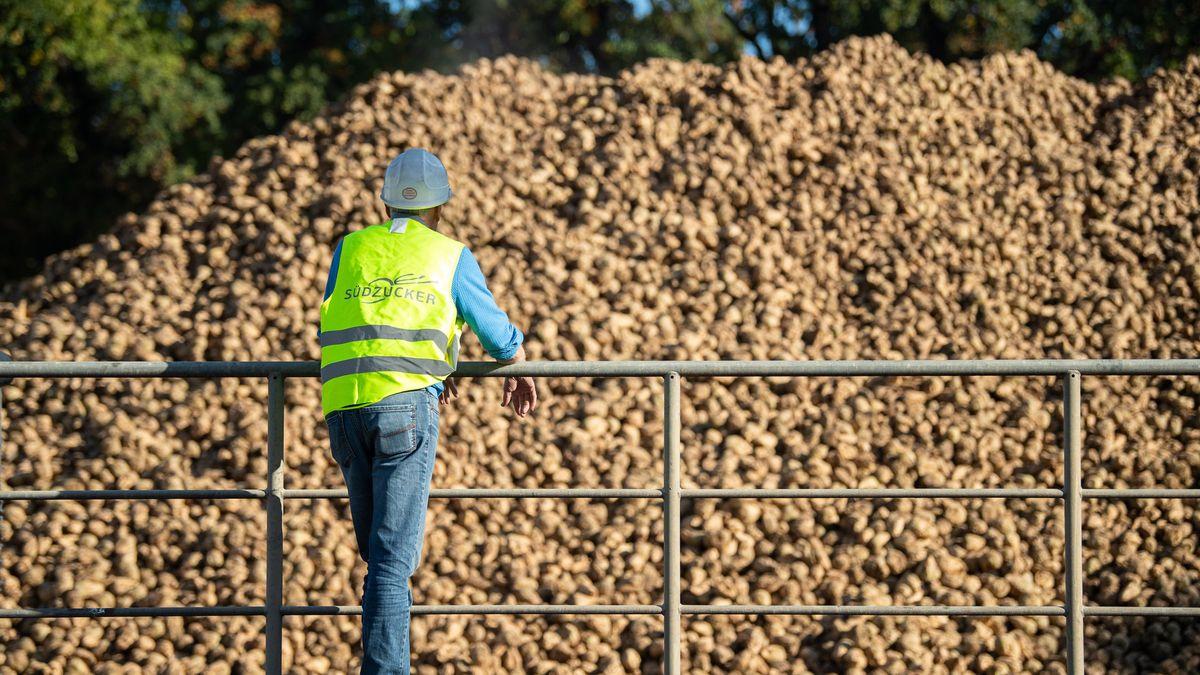 """Ein Mann mit einer Warnweste, auf der """"Südzucker"""" steht, steht vor einem Haufen Zuckerrüben."""