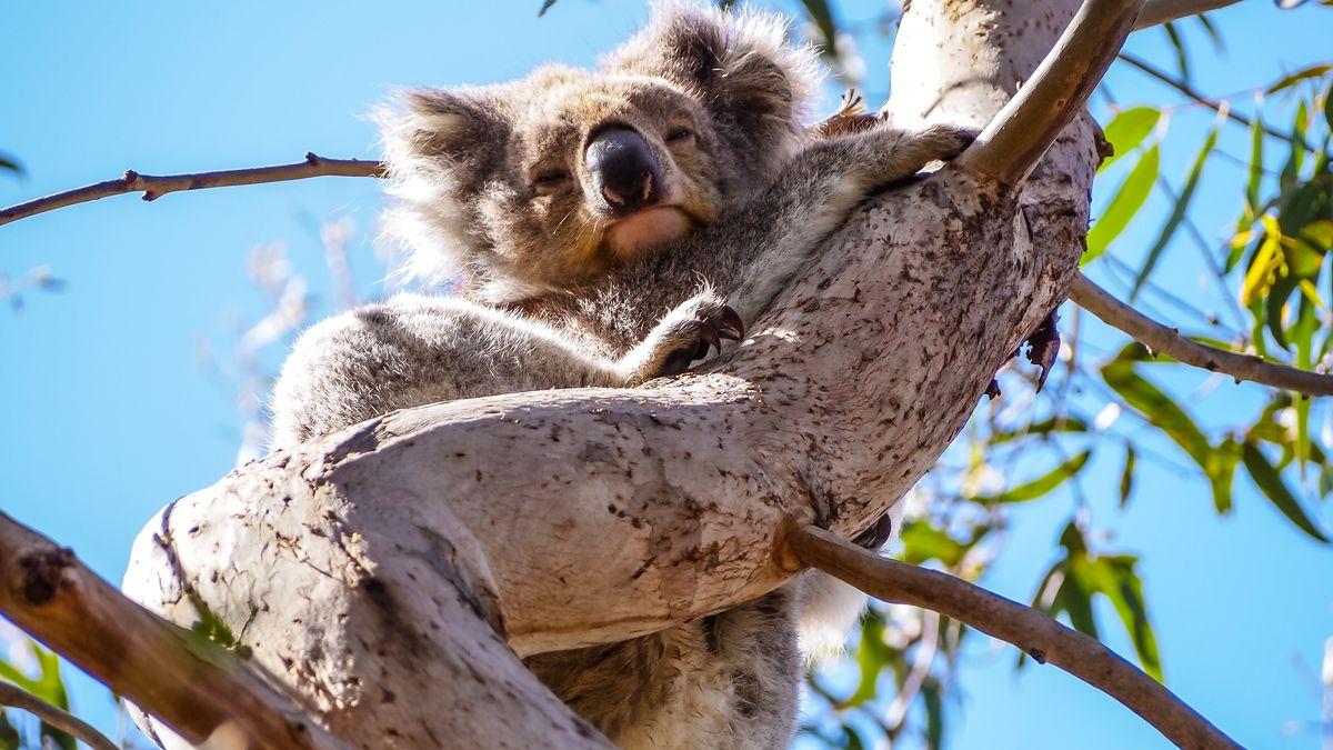 Koala sitzt auf einem Ast