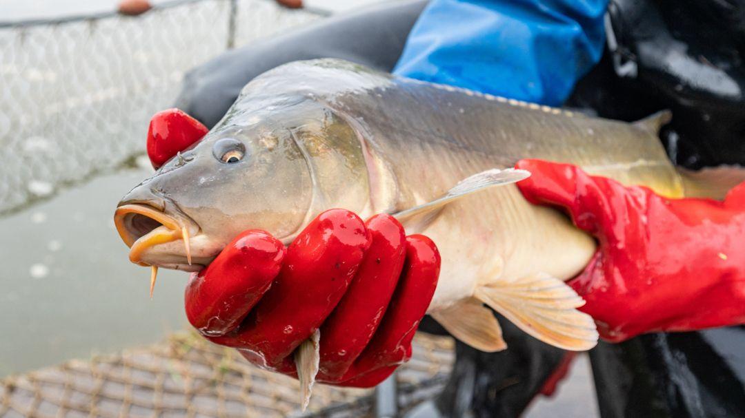 Ein Fischer hält einen Karpfen (Symbolbild).