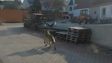 Der Wolf in Bissingen
