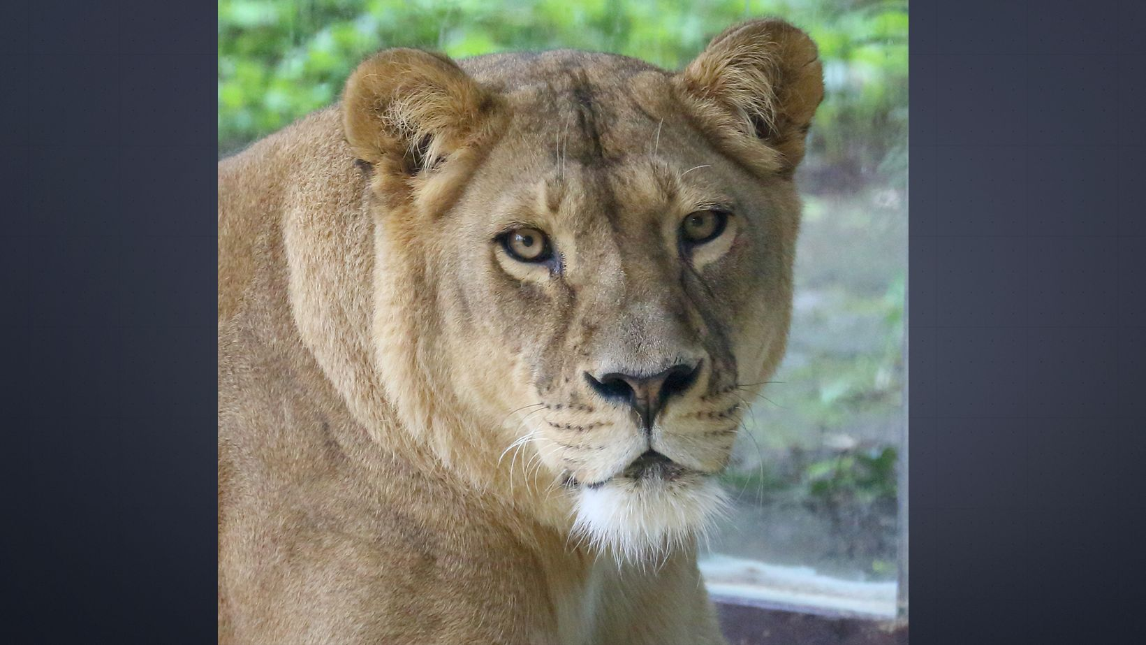 Die Löwin Tara im Augsburger Zoo