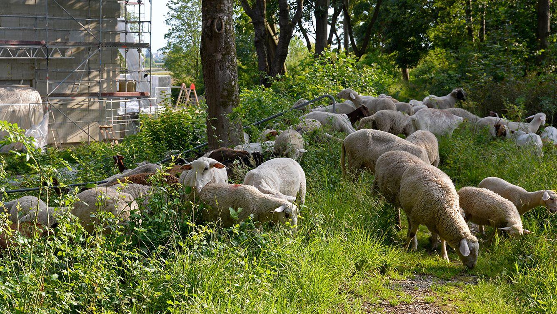 Schafen grasen auf den Außenanlagen der GEWOFAG-Wohnanlage im Münchner Stadtteil Aubing.