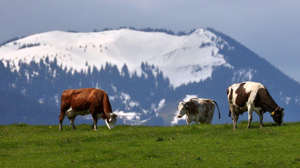 Kühe vor schneebedeckten Bergen