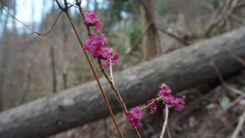 Ein Frühlingsbote: Der Seidelbast