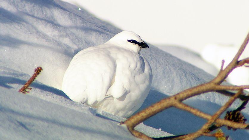 Ein weißes Schneehuhn im Schnee