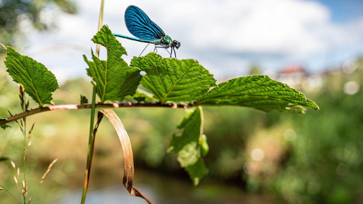 Insekten wie diese Libelle profitieren besonders von Gewässerrandstreifen.