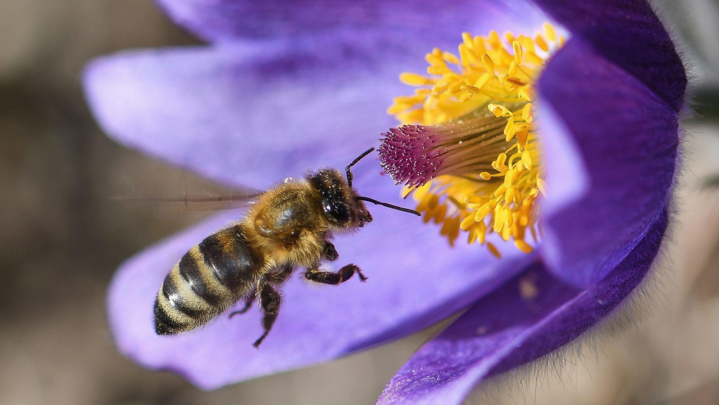 Biene bestäubt Küchenschelle