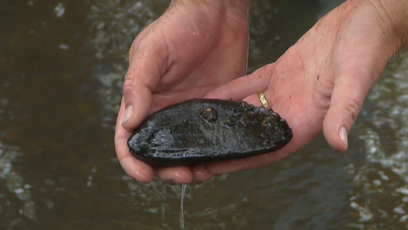 Eine schwarze Flussperlmuschel wird von einer Hand gehalten, die sie gerade aus dem Wasser geholt hat.