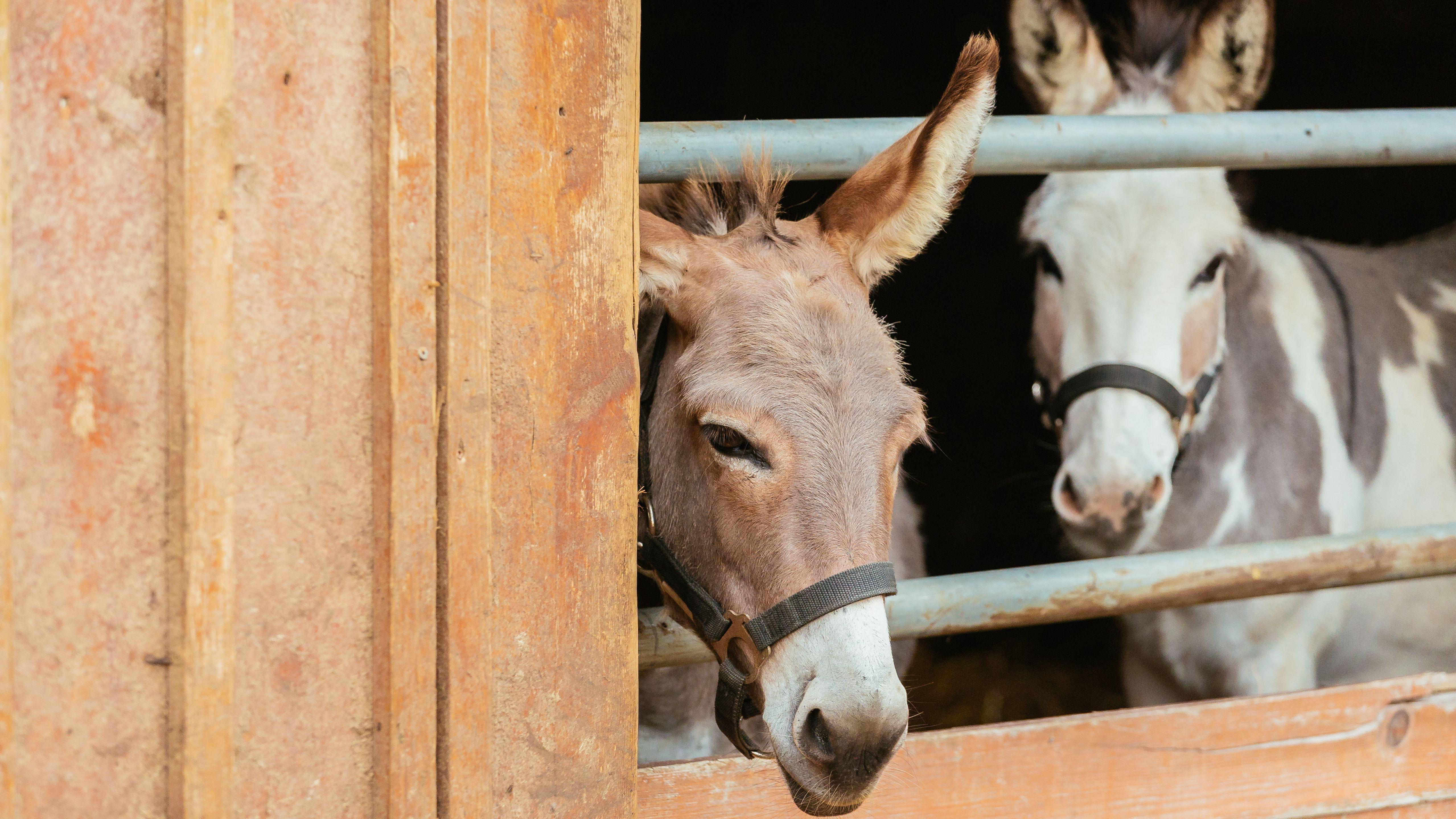 Esel in einem Stall - Symbolbild