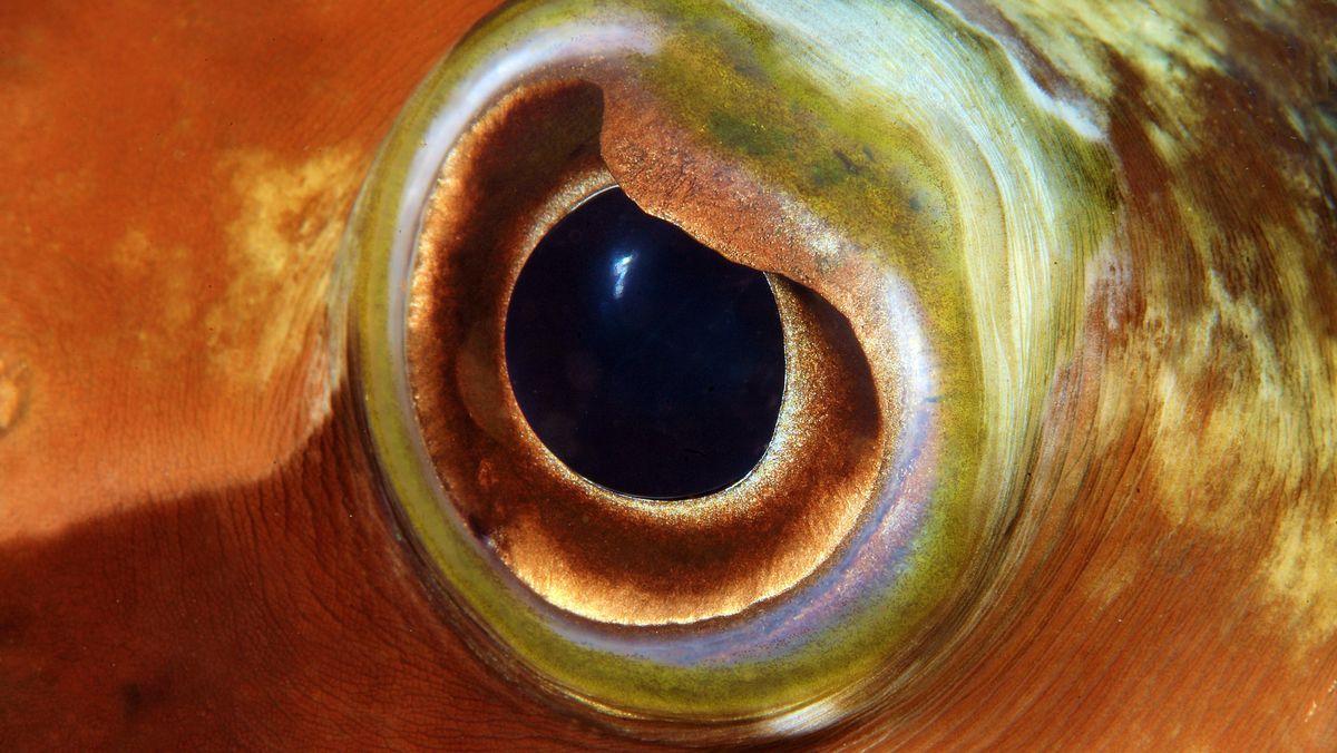 Auge von einem Langstachel-Igelfisch