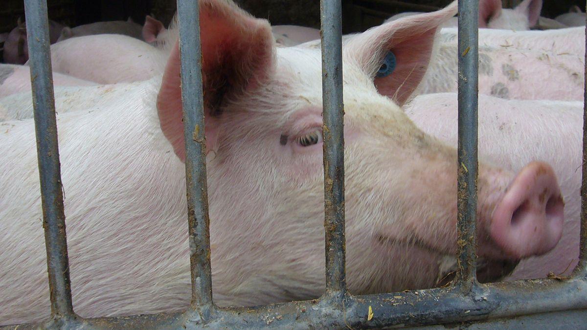 Bioschweine auf dem Hof von Hans Hohenester