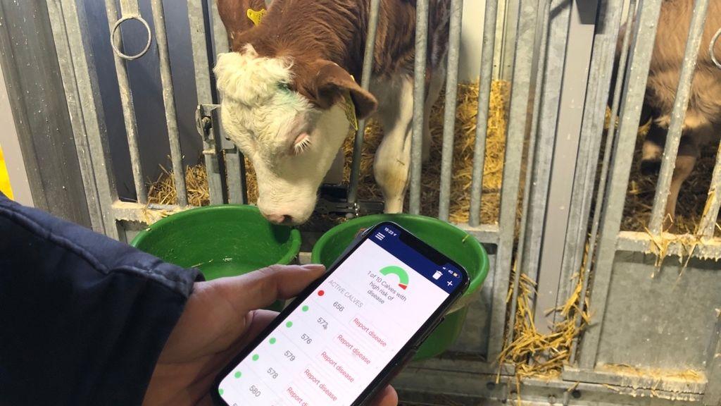 Durch eine App auf dem Handy weiß der Landwirt, wie es seinen Kälbern geht.