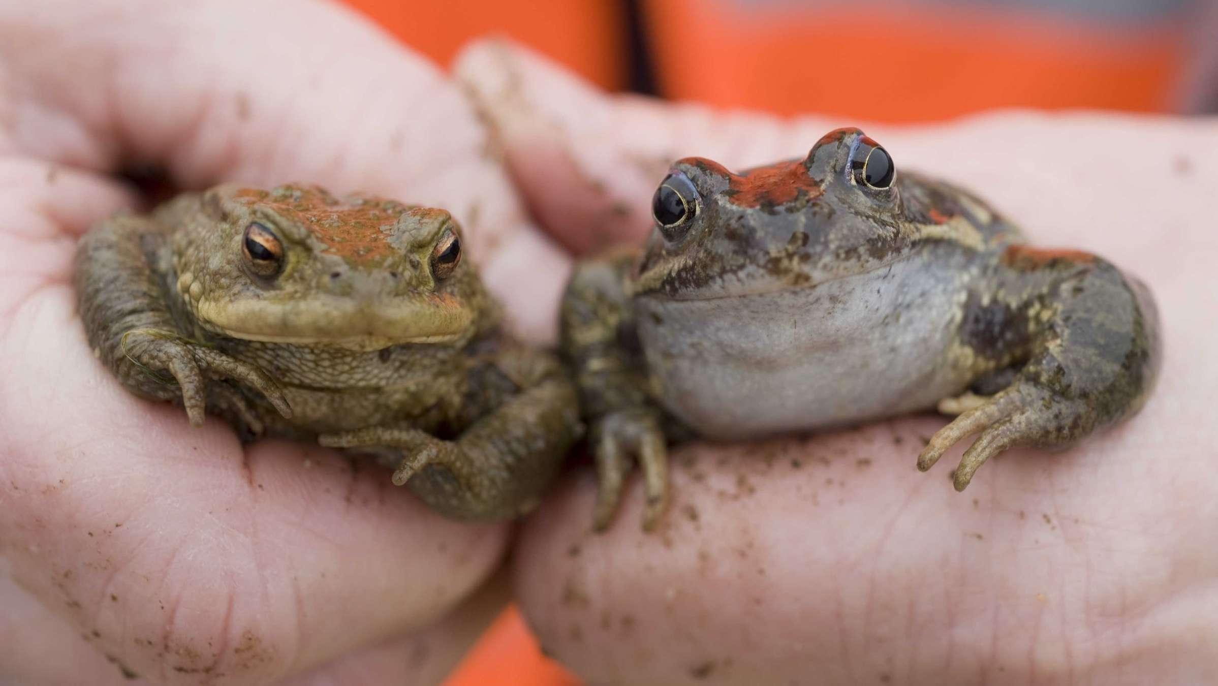 In Bayern gibt es immer weniger Amphibien. Frösche, Kröten und Molche werden selten.