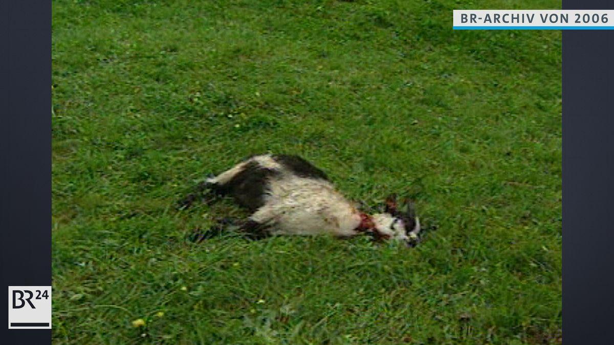 Von Problembär Bruno getötetes Tier liegt im Gras
