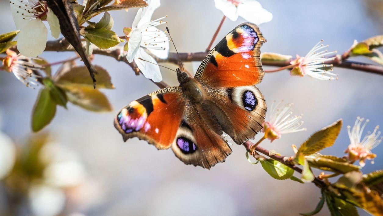 Schmetterling - Tagpfauenauge