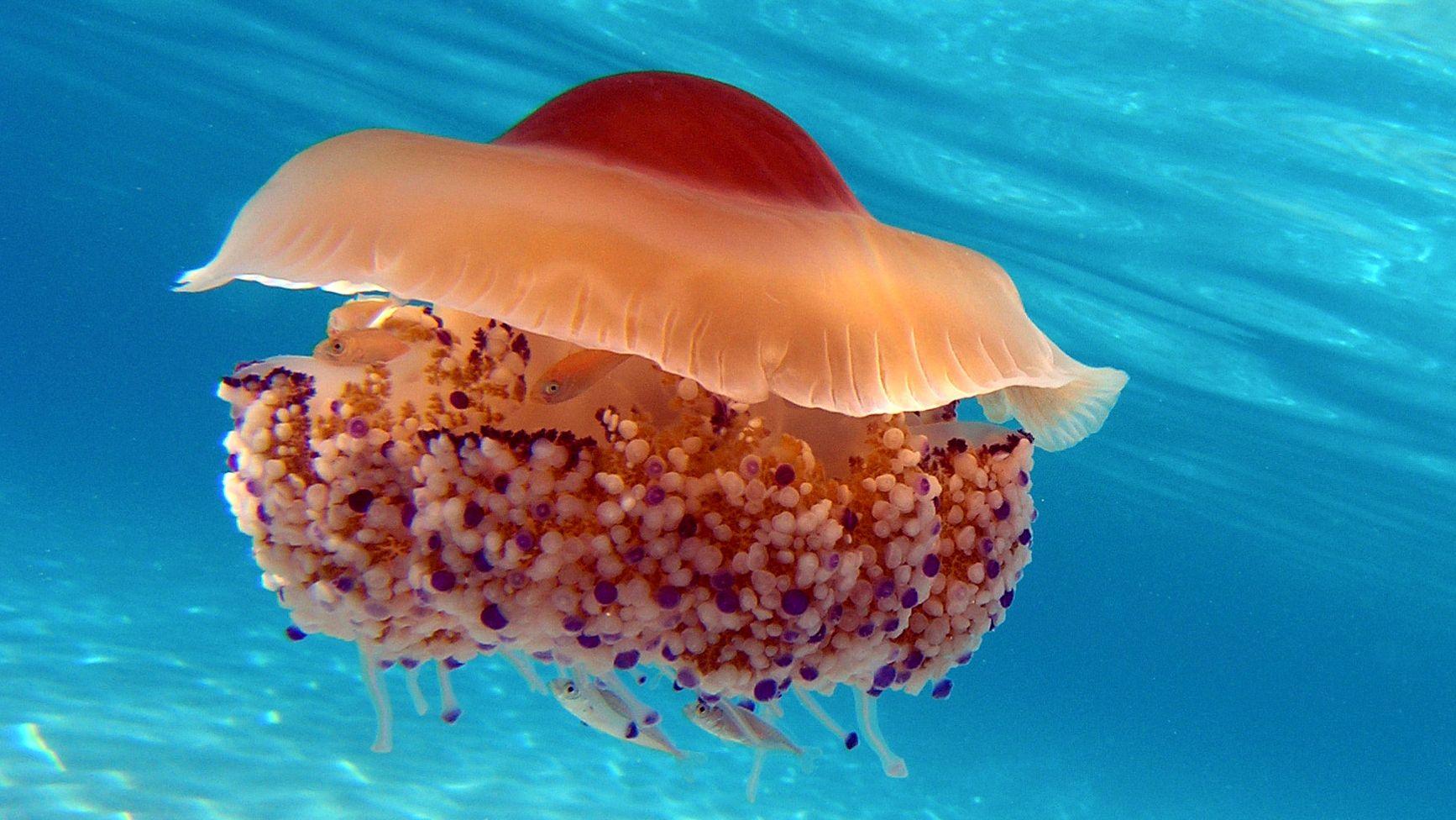 Unterwasseraufnahme einer Spiegeleiqualle im Mittelmeer