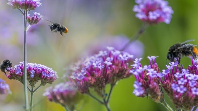Insektenatlas 2020: Hummeln sind wichtig für die Bestäubung von Pflanzen.