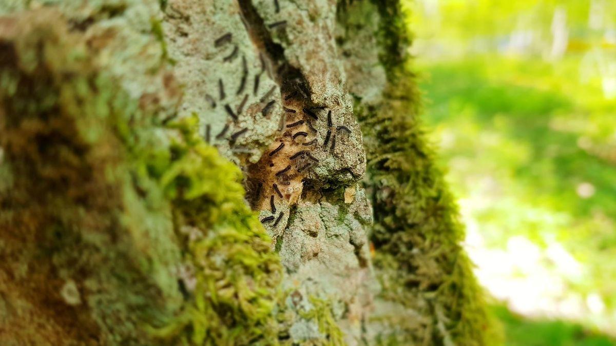 Schwammspinner in Unterfranken