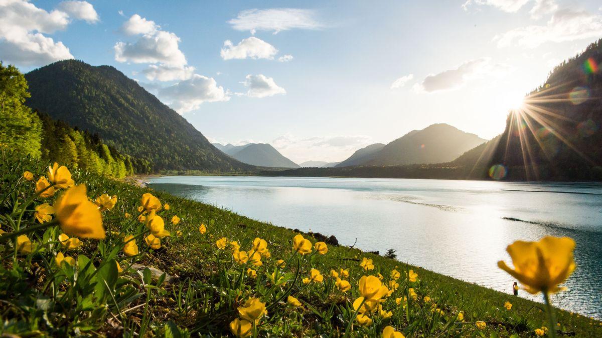 Der Sylvensteinsee schlängelt sich durch die Berglandschaft bei Lenggries. Im Vordergrund stehen Butterblumen.