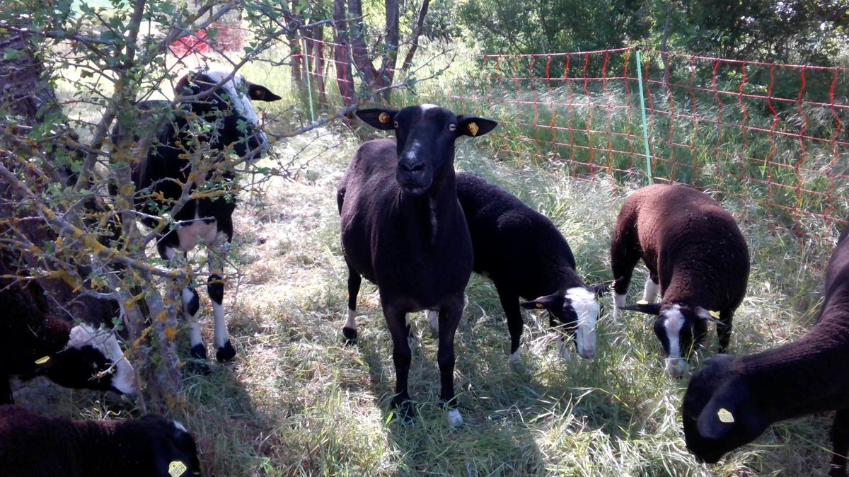 Schafe bei der Landschaftspflege