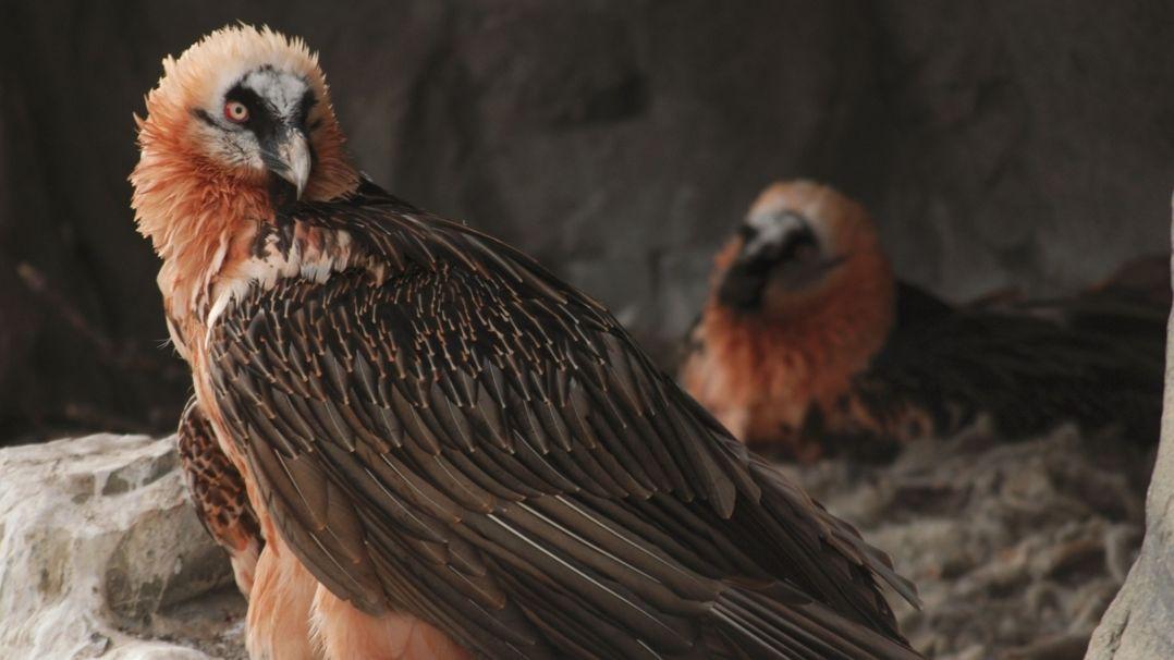 Ein Bartgeier mit braunen Flügelfedern und rötlichen Kopffedern sitzt in seinem Nest.