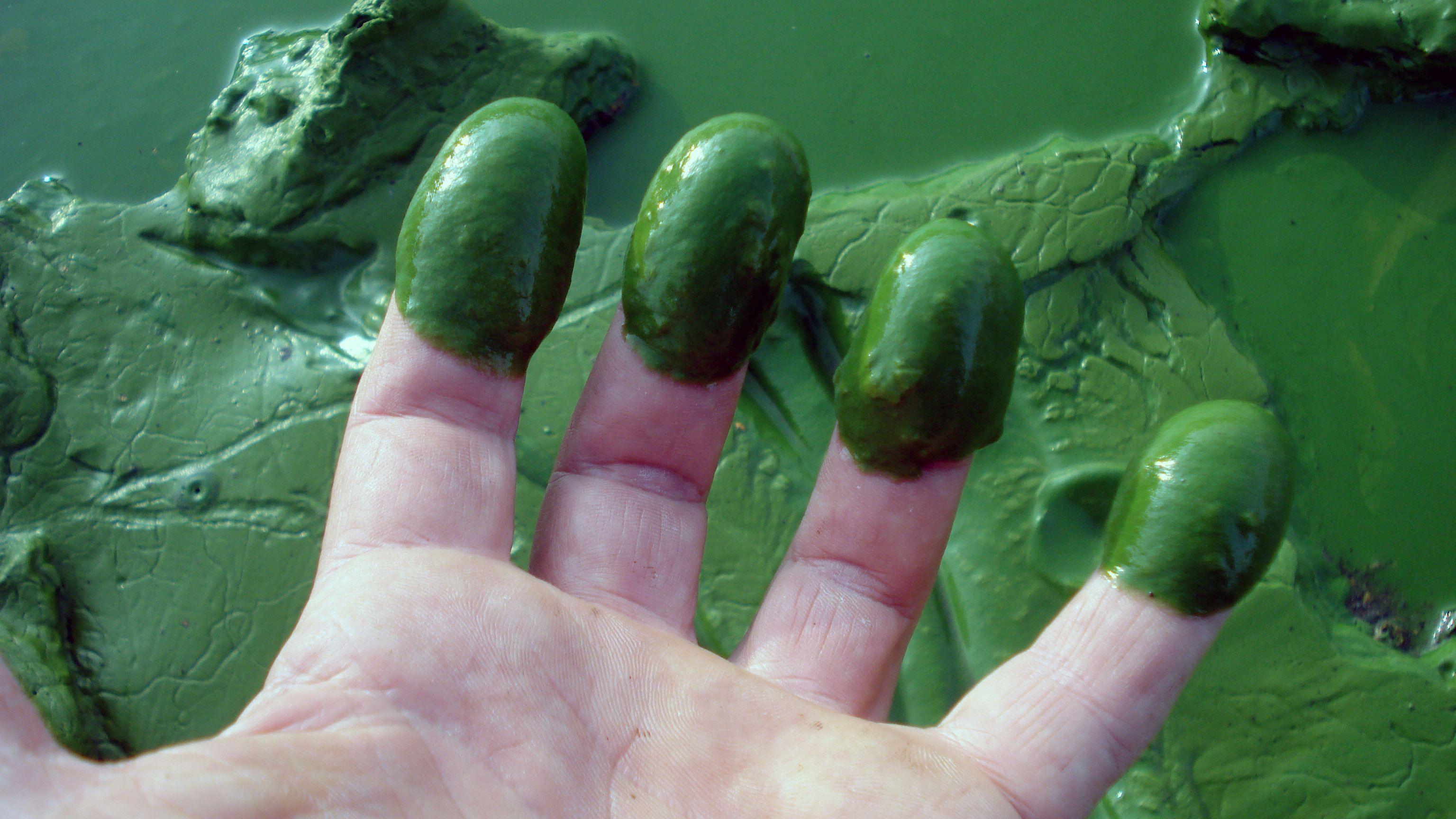 So sieht das Wasser im Eixendorfer See derzeit aus: Blaualgen bilden ein Toxin, das zu Hautreizungen, Durchfall oder Erbrechen führen kann.