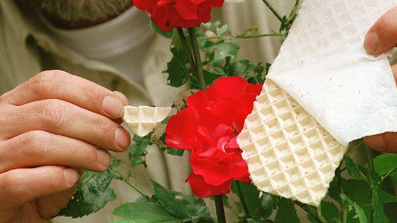 Pappwaben mit Florfliegen-Larven an einer roten Rose