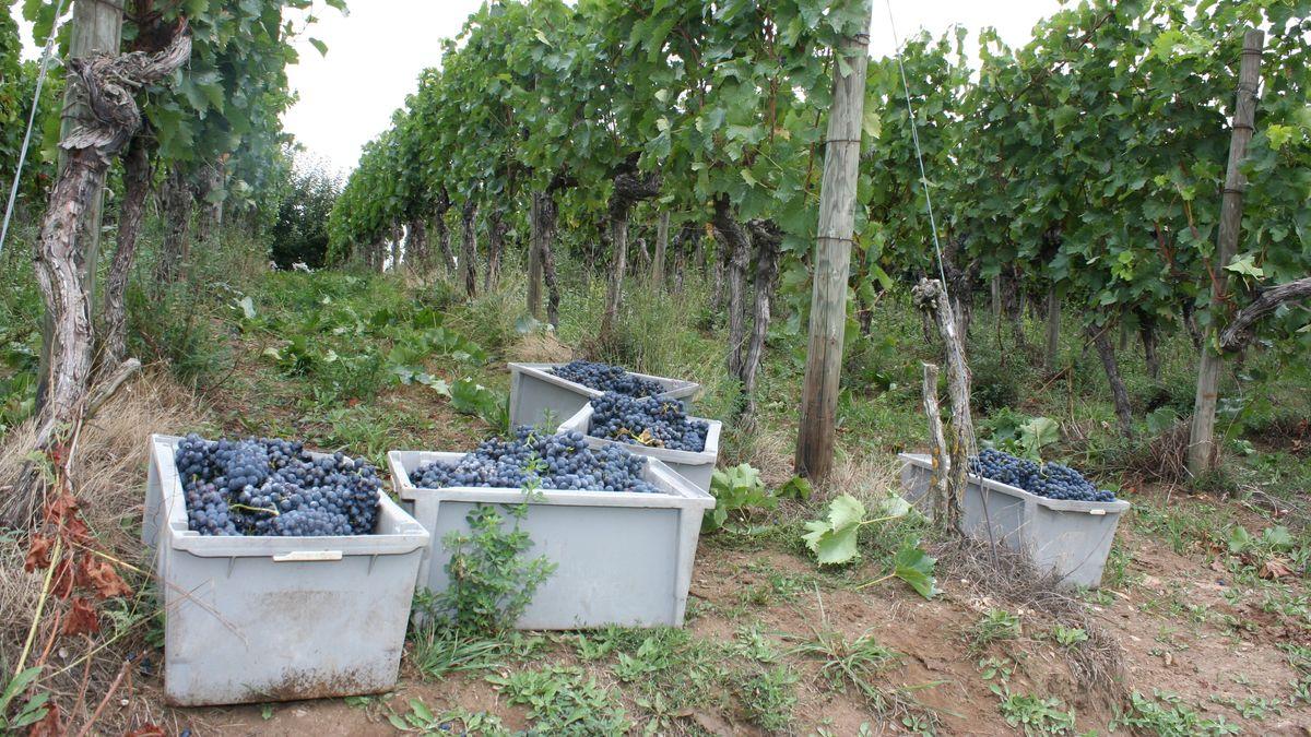 Weinbauverband zieht Bilanz zur Weinlese in Franken