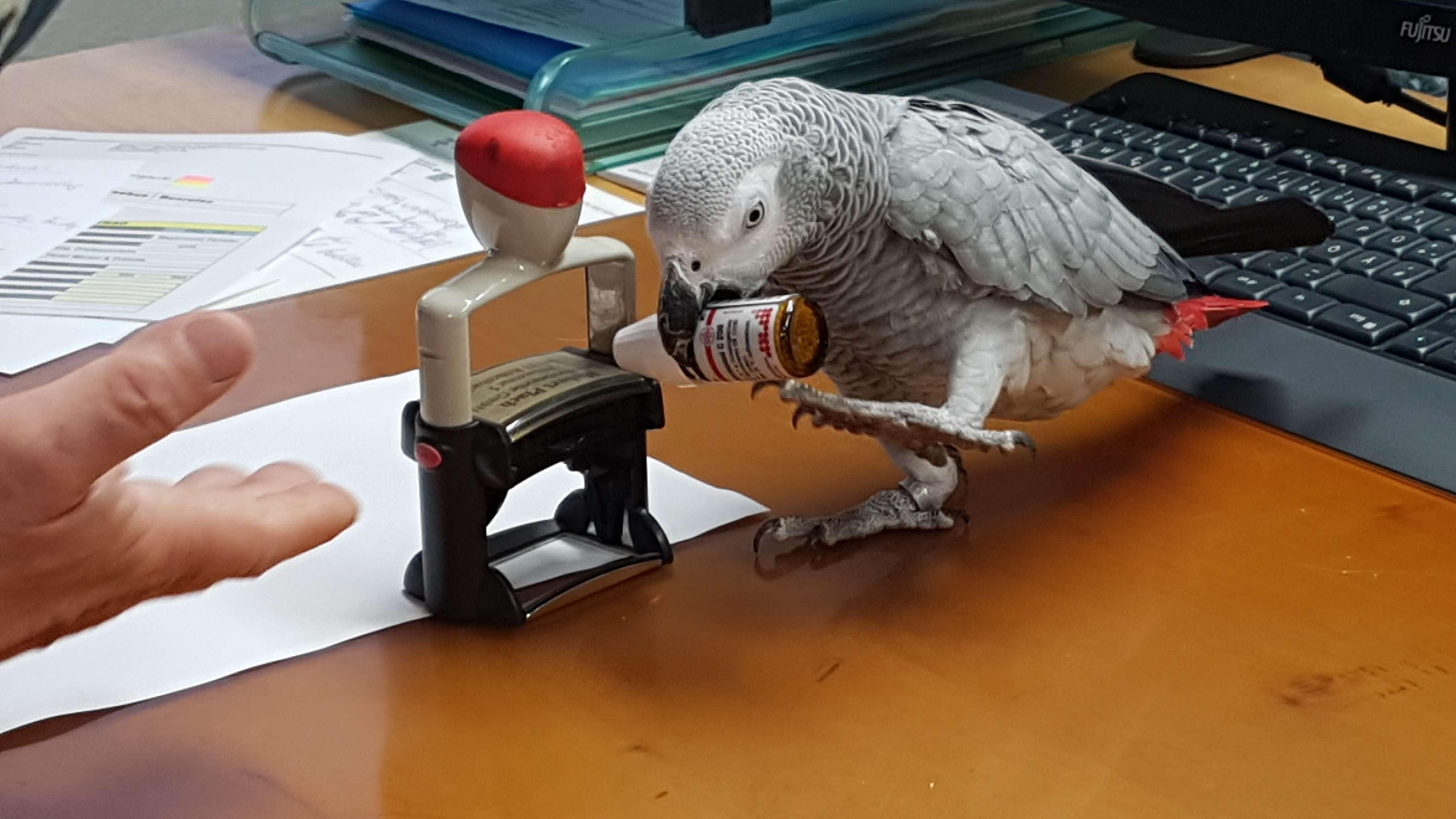 Papagei Carlo