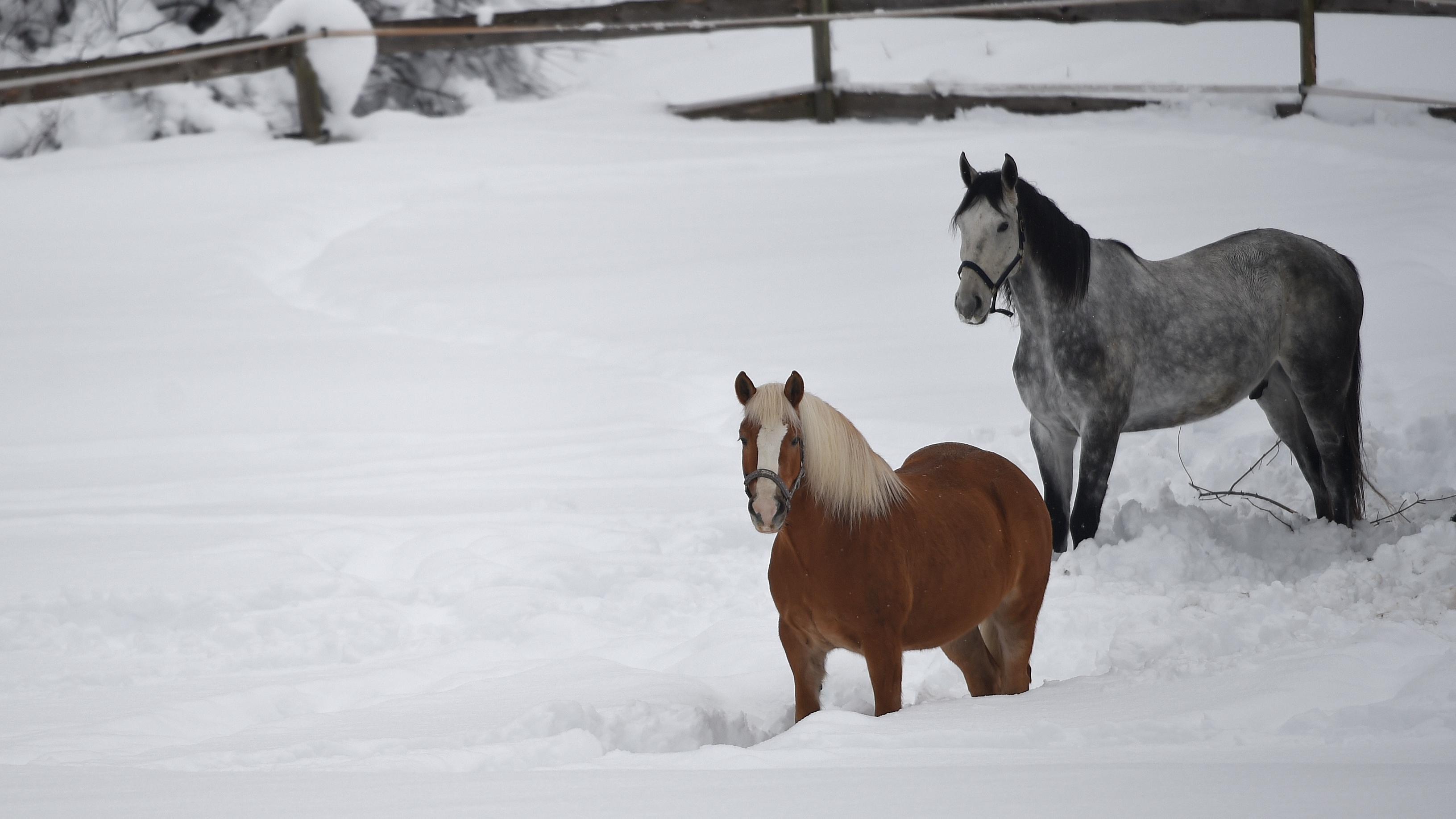In Garmisch-Partenkirchen stehen die Pferde im Schnee auf der Weide. Die Tiere sind robust und haben ein dickes Winterfell.