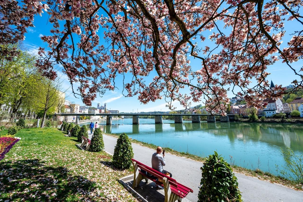 15.04.2020, Bayern, Passau: Ein Magnolienbaum blüht an der Innpromenade. Foto: Armin Weigel/dpa +++ dpa-Bildfunk +++