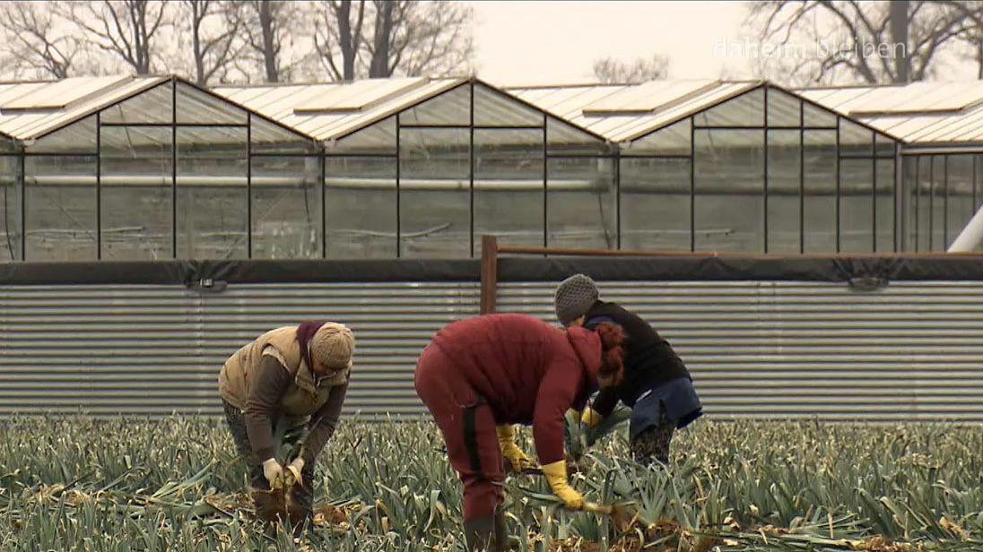 Menschen beim Ernten von Lauch im Nürnberger Knoblauchsland