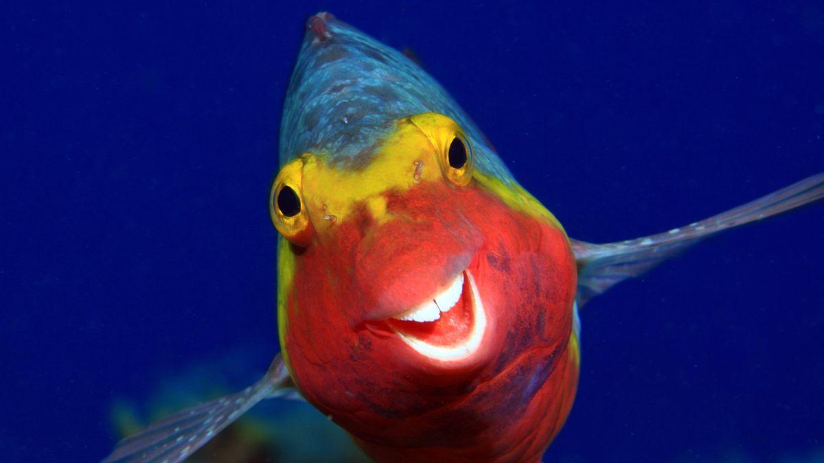 Europäischer Papageienfisch (Sparisoma cretense)