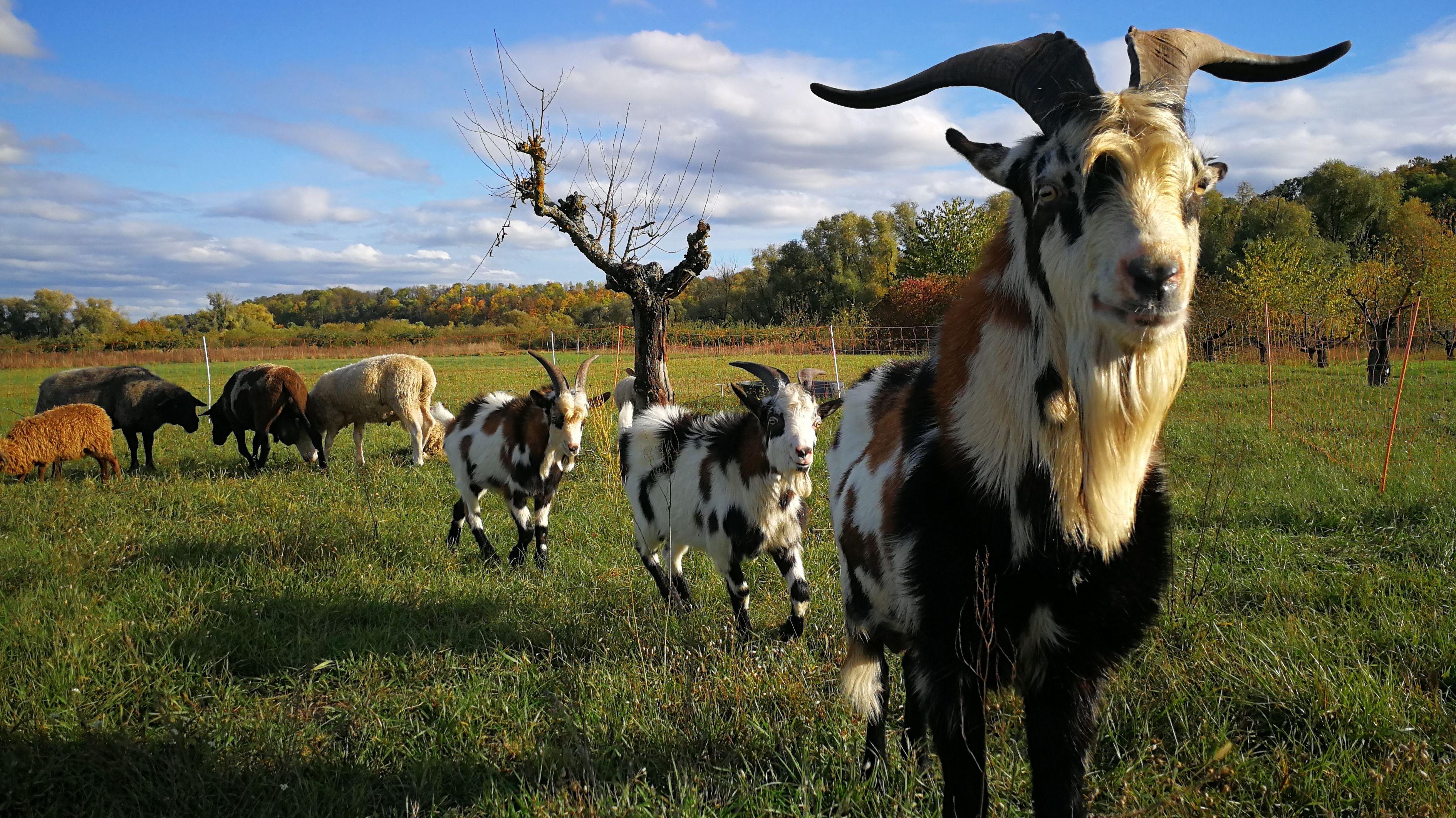Weideabtrieb in der Rhön mit Ziegen, Schafen und Rindern