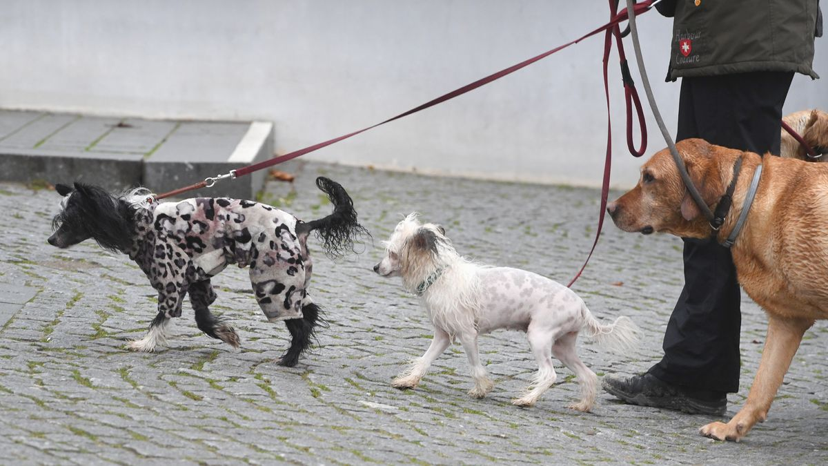 Mehrere Hunde gehen an der Leine Gassi (Symbolbild)