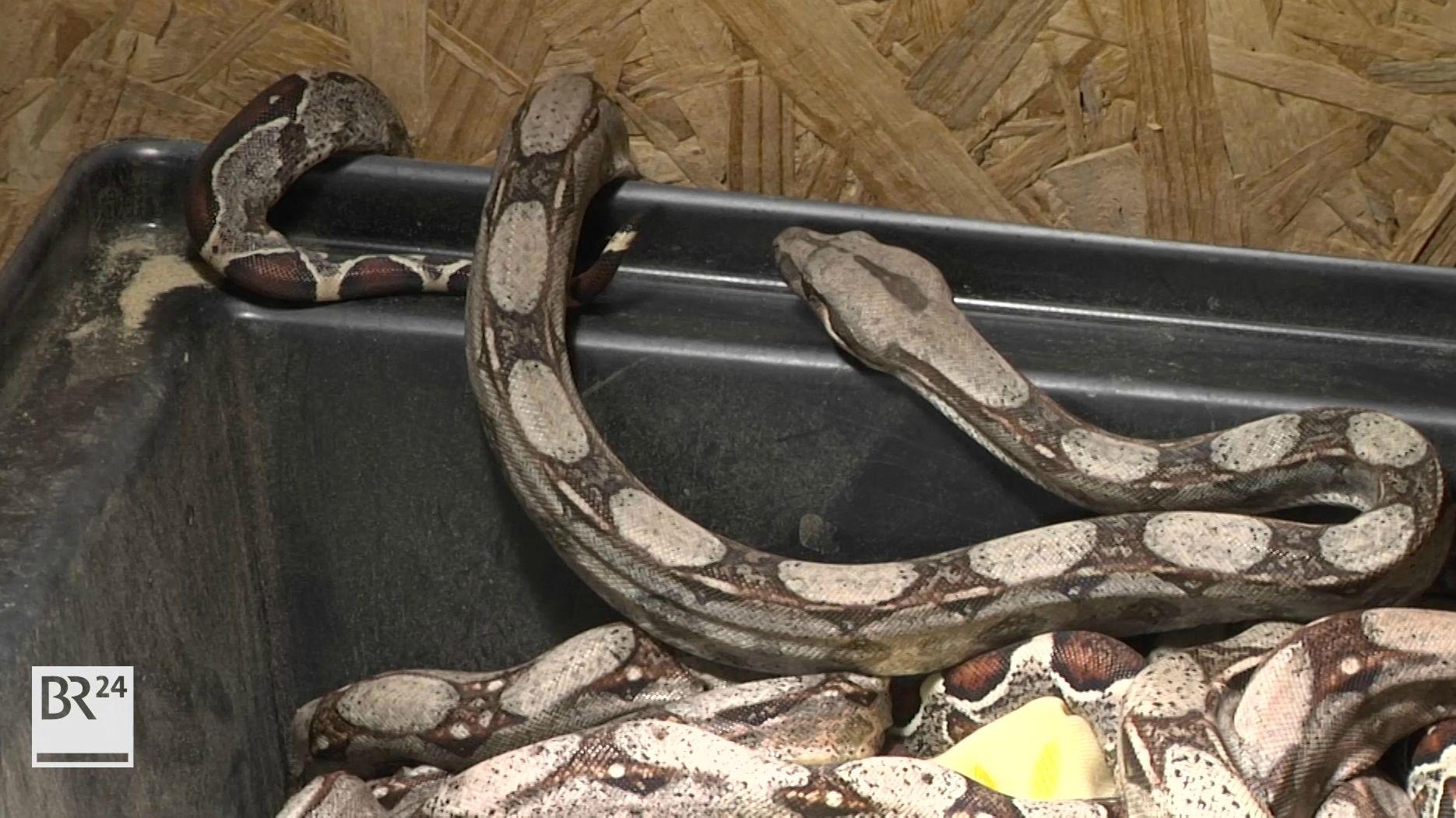 Junge Schlangen
