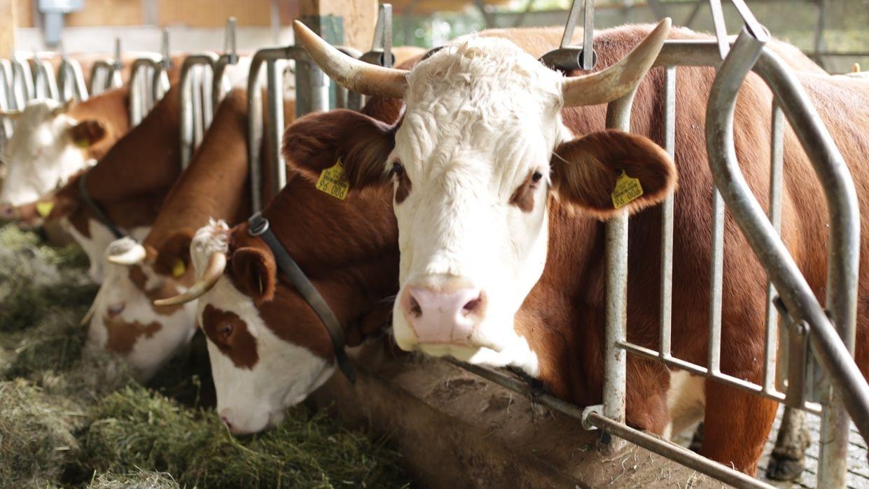 Kühe in einer fränkischen Bio-Landwirtschaft