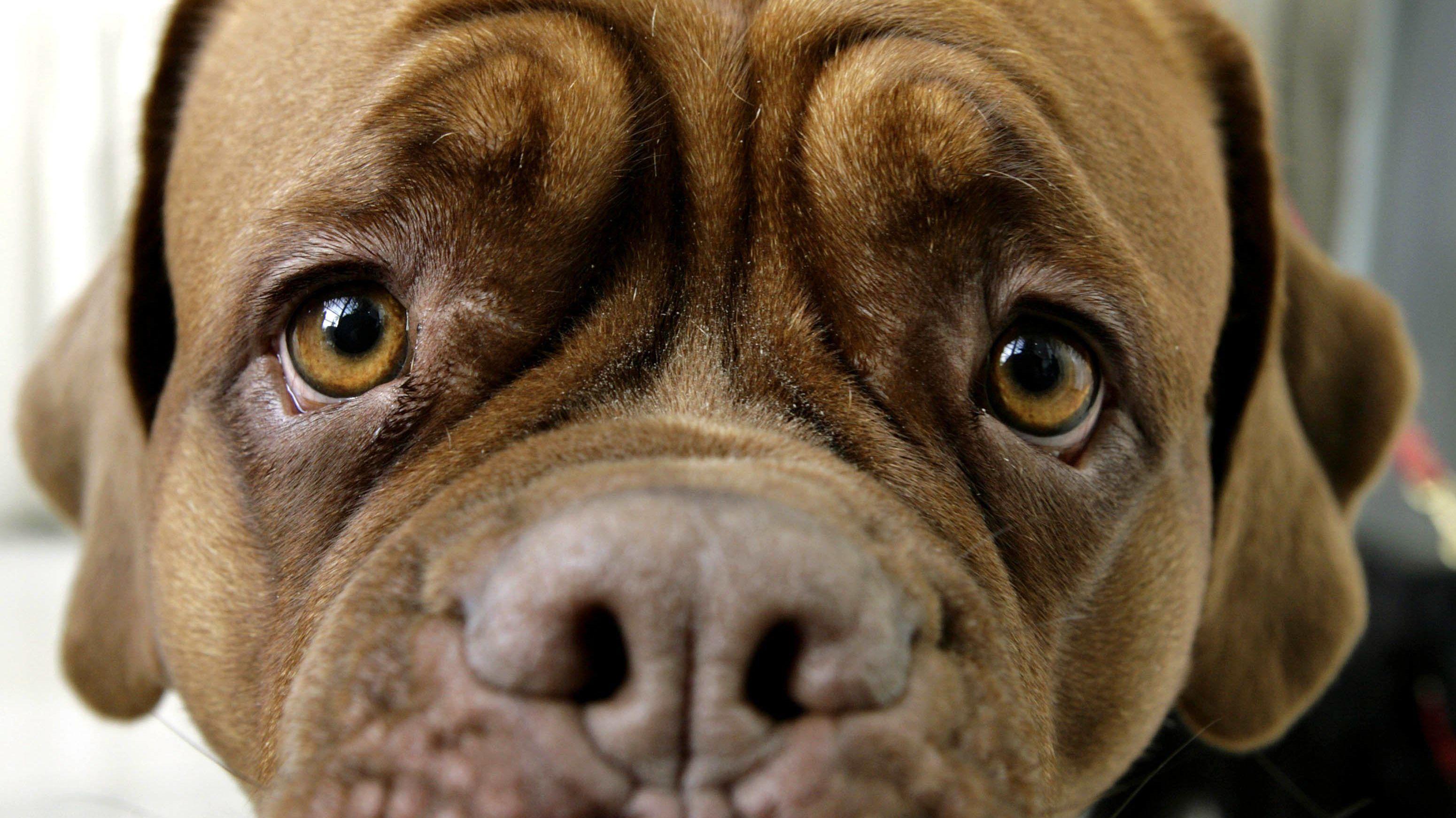 Trauriger Blick einer Bordeaux-Doggen-Hündin.